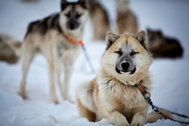 Sled dogs greenland