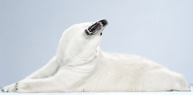 Polar Bear_Jill Greenberg_2